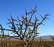 crucifixion thorn (Koeberlinia spinosa)