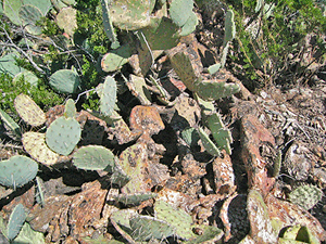 Bite marks from jackrabbits are evident on prickly pear cactus